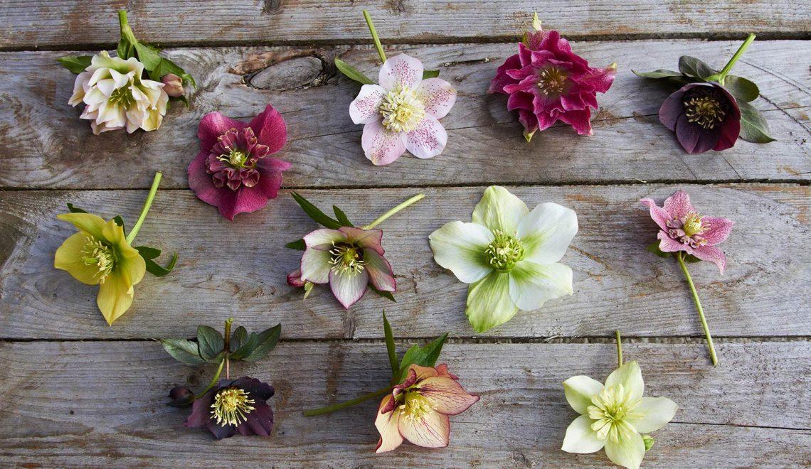 Im Blütenreich der Lenzrose