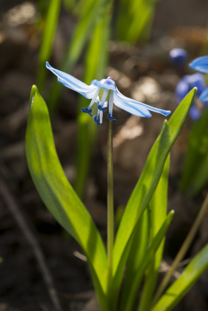 Zauberhaft: Die Blüte vom Sibirischem Blausternchen
