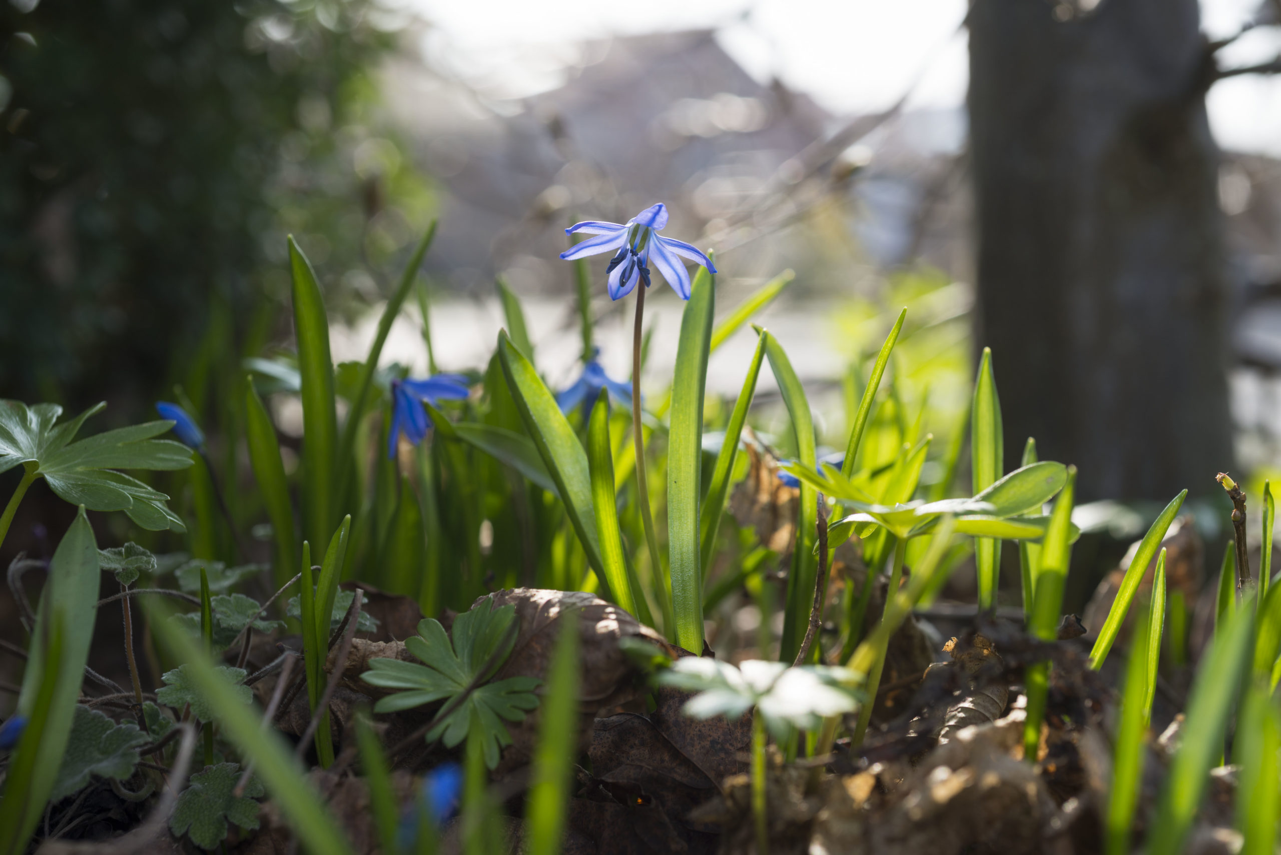 Blausternchen (Scilla siberica) ist eine Zwiebelblumen zum Verwildern.