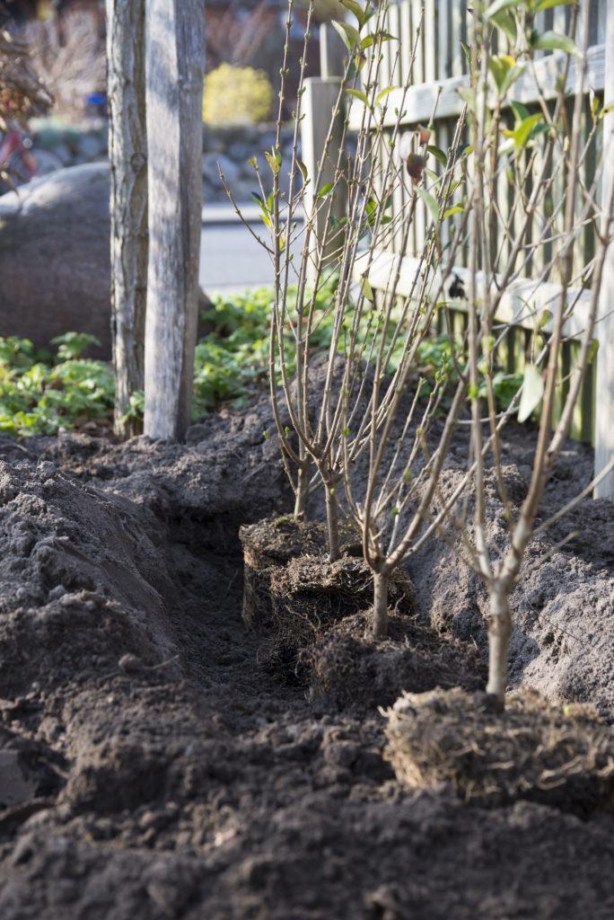 Pflanzzeit für eine Ligusterhecke Hecke richtig pflanzen