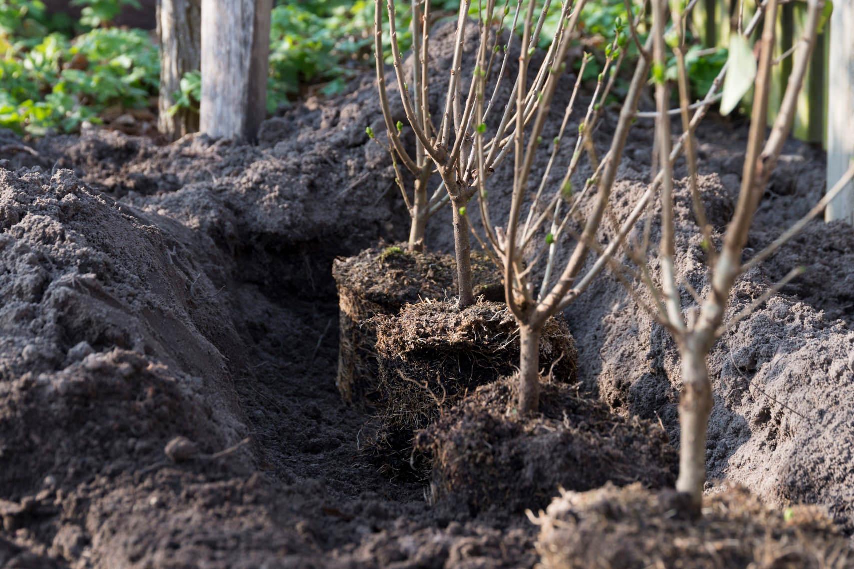 Pflanzzeit für eine Ligusterhecke