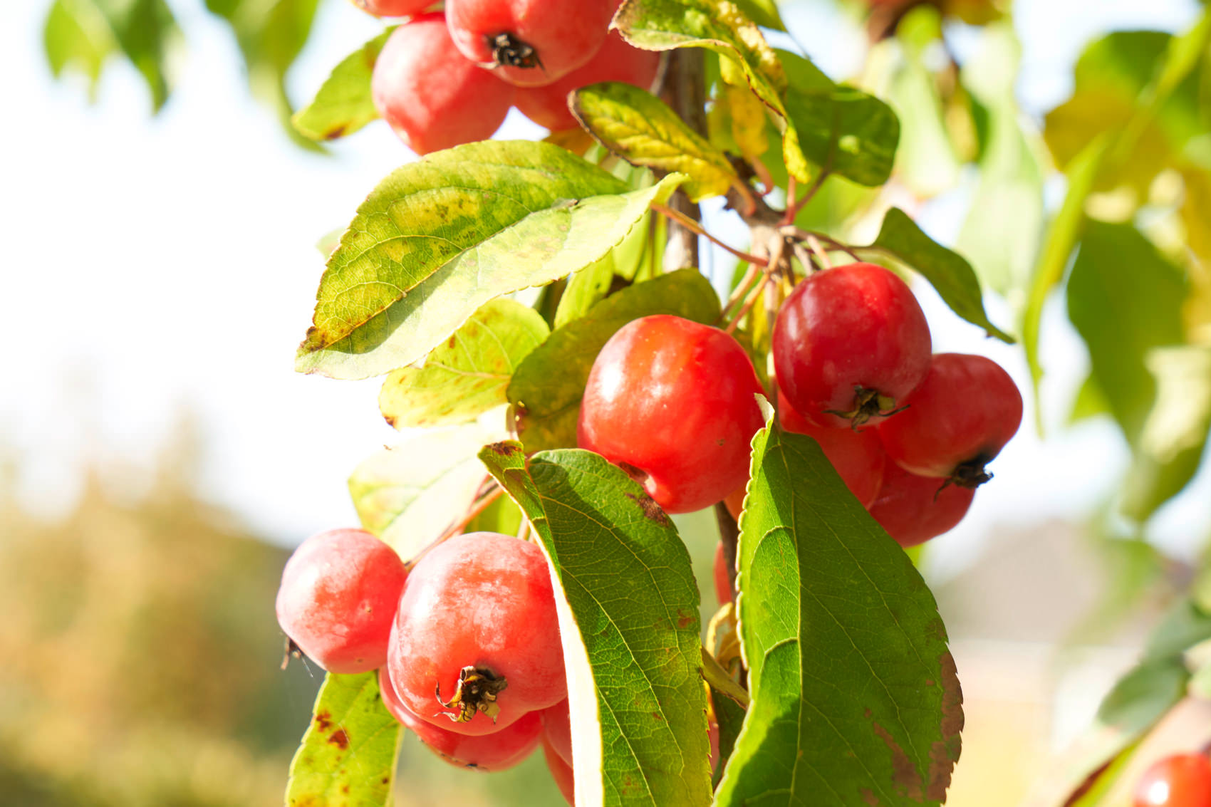 Die Sorte 'Red Sentinel' bleibt lange am Baum und schmeckt Vögeln im Winter.