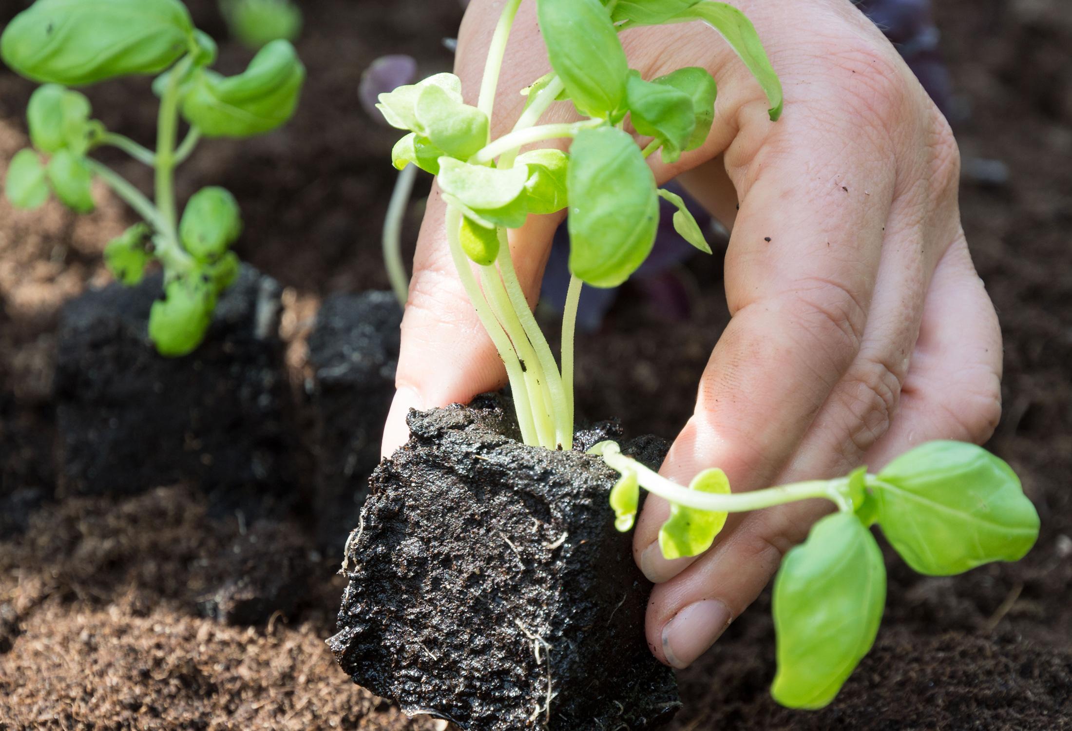 Basilikum 'Genoveser' pflanzen