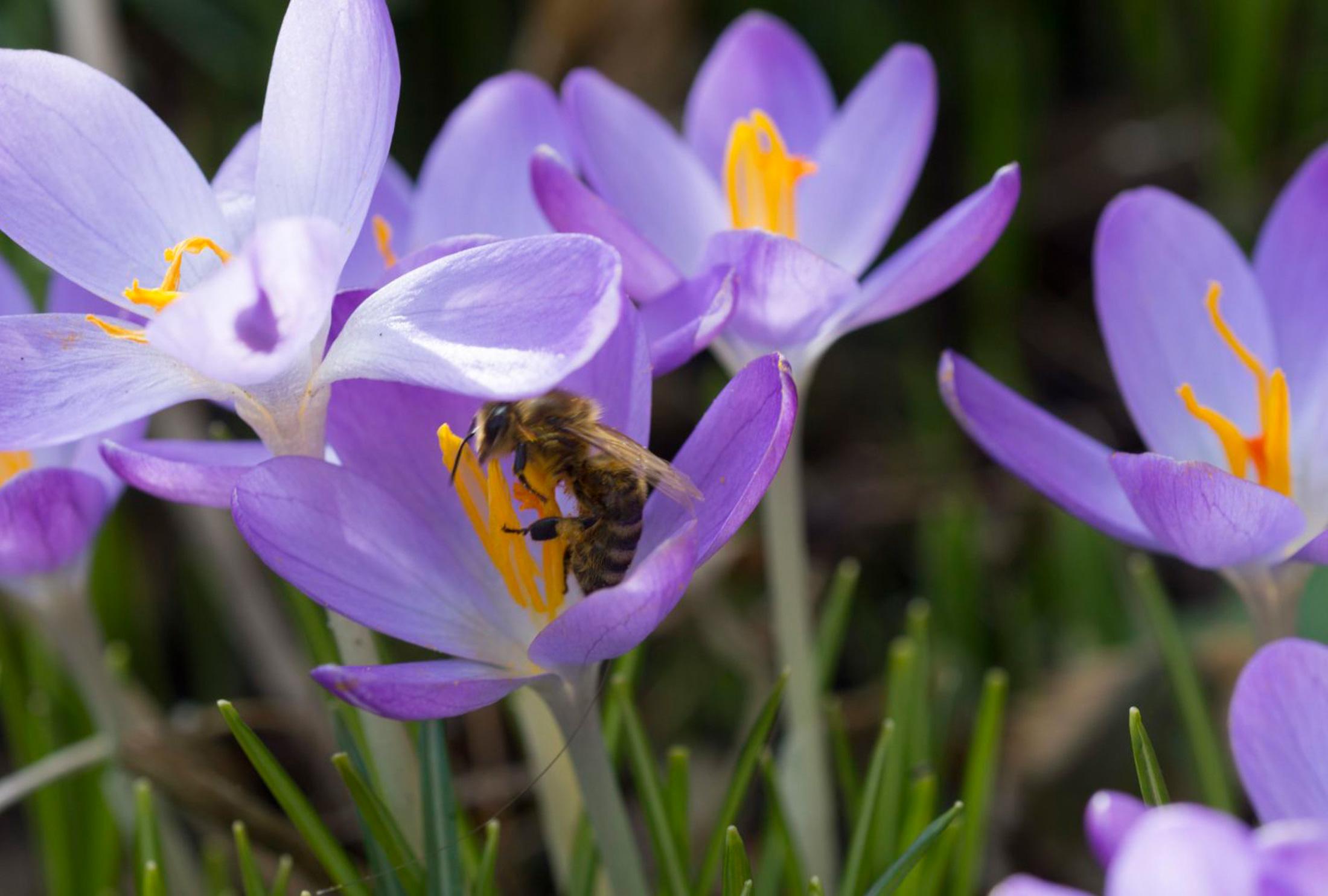 Fröhliche Frühlingsboten Krokusse