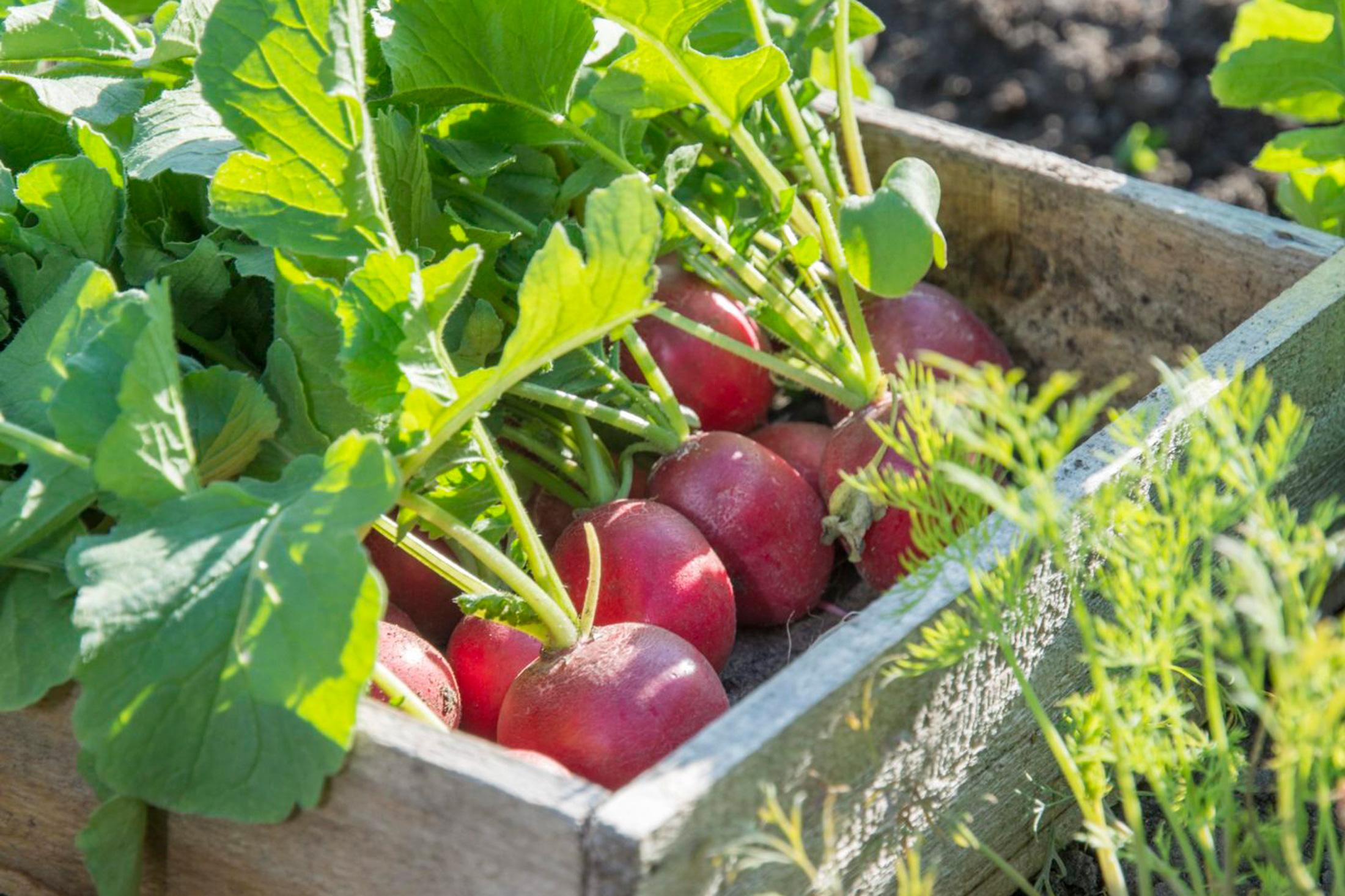 Mit Radieschen in die Gemüsesaison