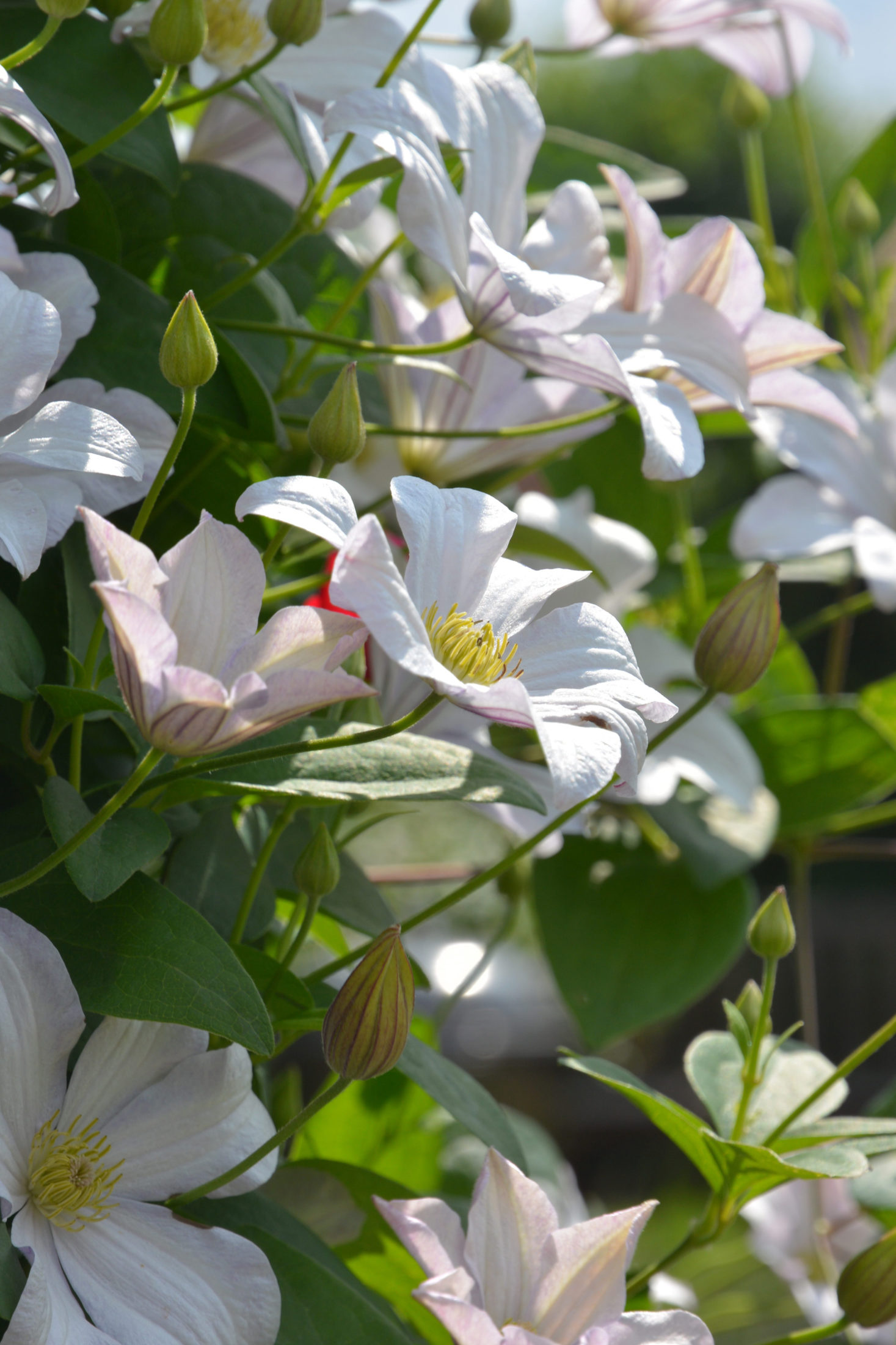 Die Klematis Huldine strahlt mit perlmuttweißen Blüten