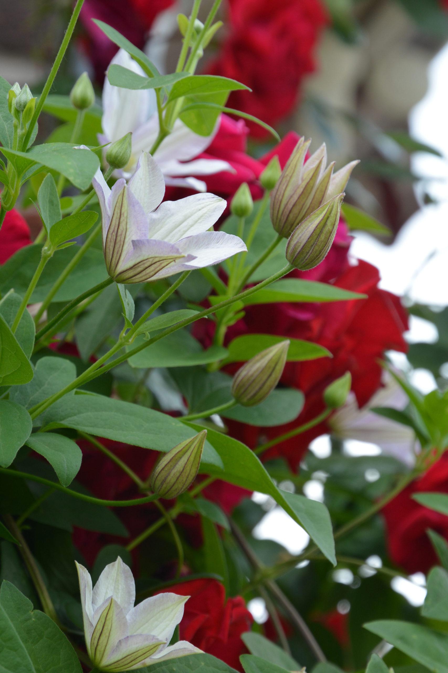 Klematis 'Huldine' strahlt mit perlmuttweißen Blüten