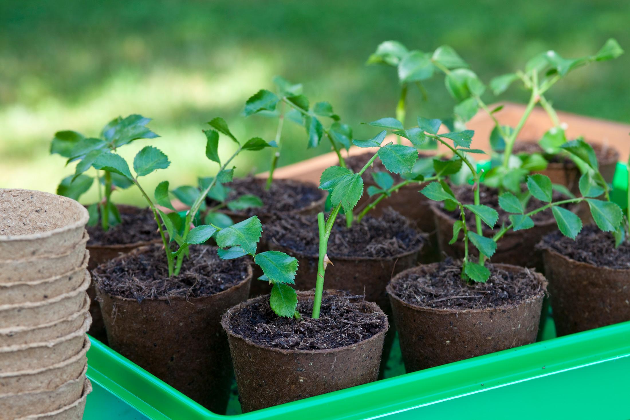 Rosen aus Stecklingen vermehren