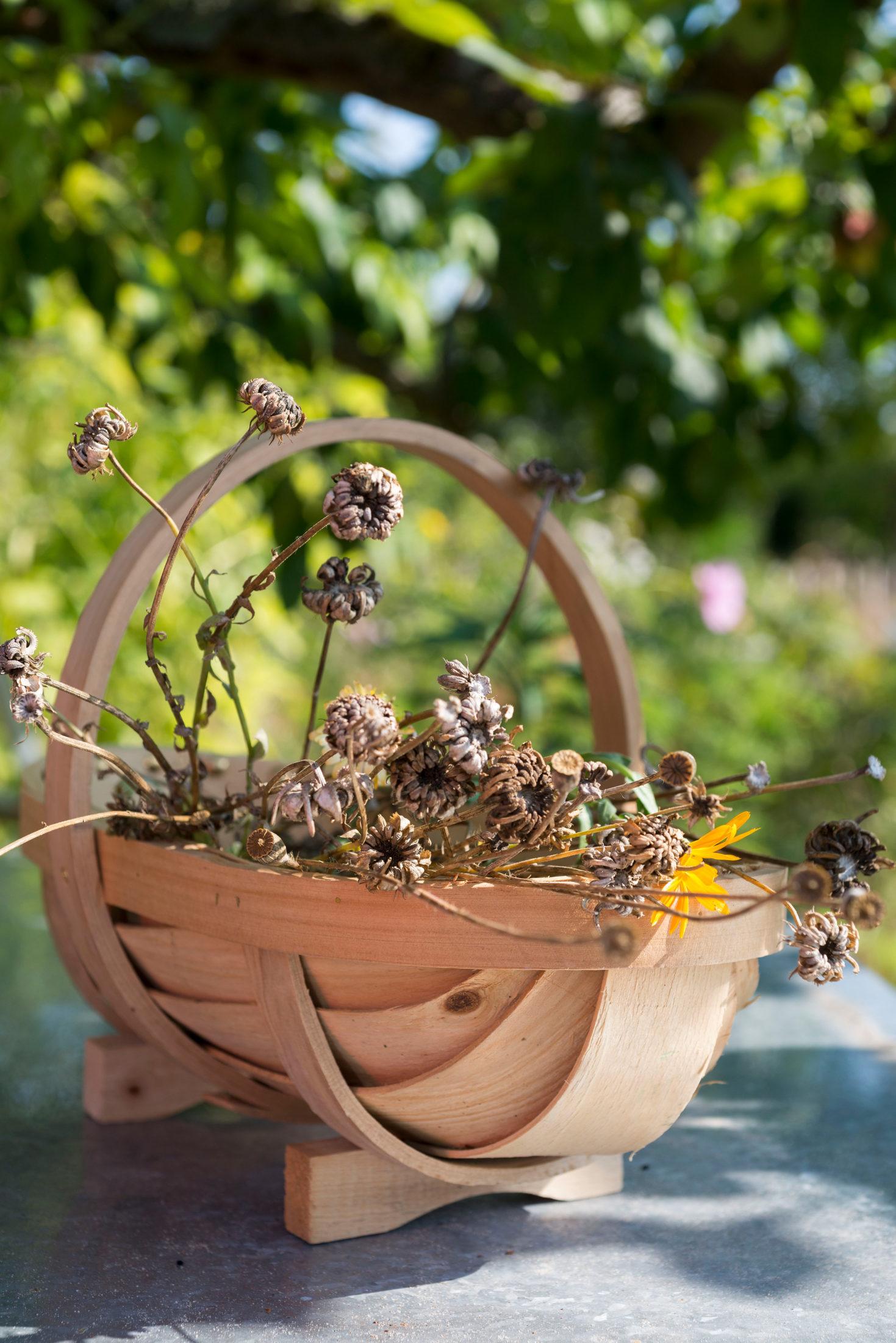 Samen von Ringelblumen sammeln