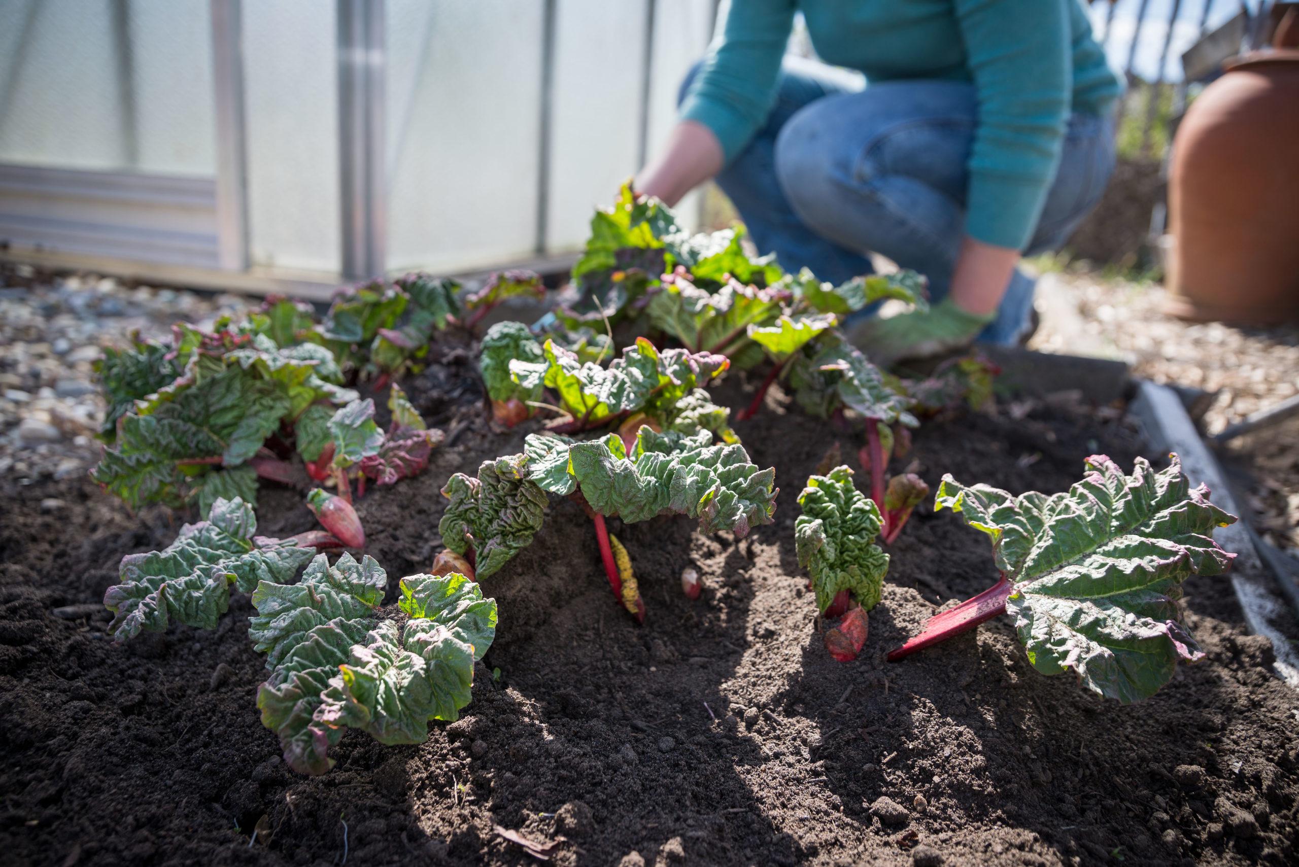 Rhabarber wird im Frühling mit Kompost gedüngt-